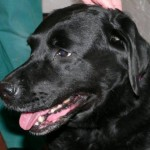 Molly the Lab