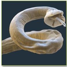 Microscope Worm