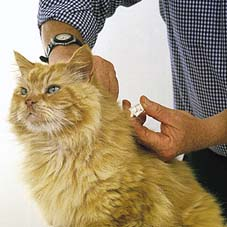 microchipping cat