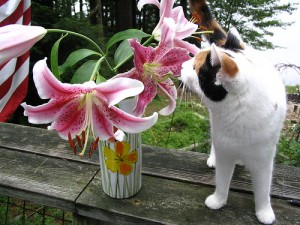 cat lily