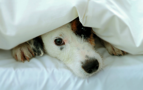 Dog nose hiding under duvet