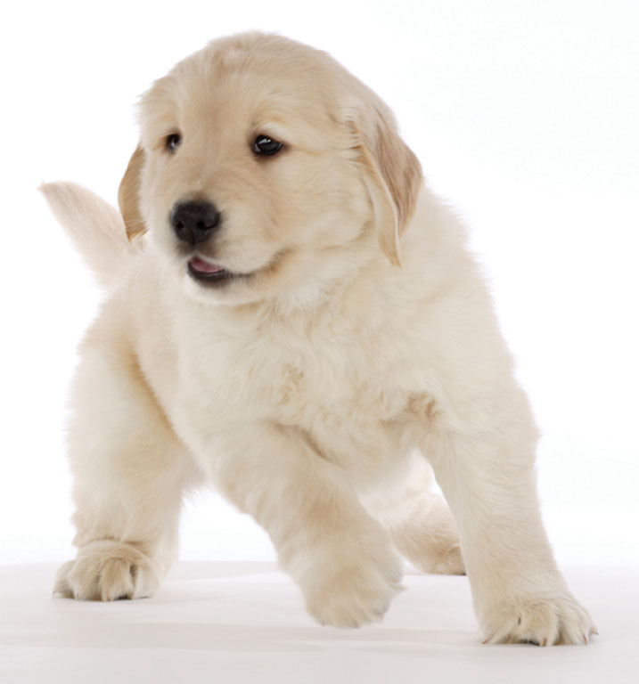 Puppy retriever large