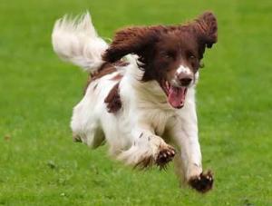 Dog running 2