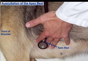 AUSCULTATE DOG HEART