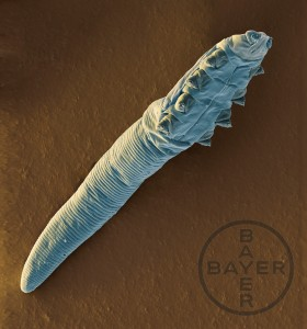 Demodex-canis---Demodex-Mite