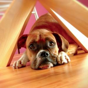 Dog Boxer (1)